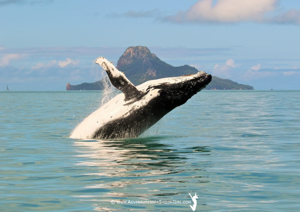 A whale jumping out of the water during postponement on day three at Hamilton Island. Photo: Nic Douglass, Adventures of a Sailor Girl